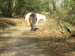 New Forest Ponies have right of way